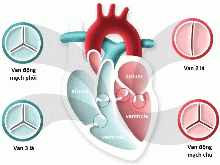 Bệnh van tim – Các dạng bệnh và những lưu ý trong điều trị